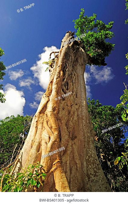 dead giant rainforest tree with fig tree, New Caledonia, Ile des Pins