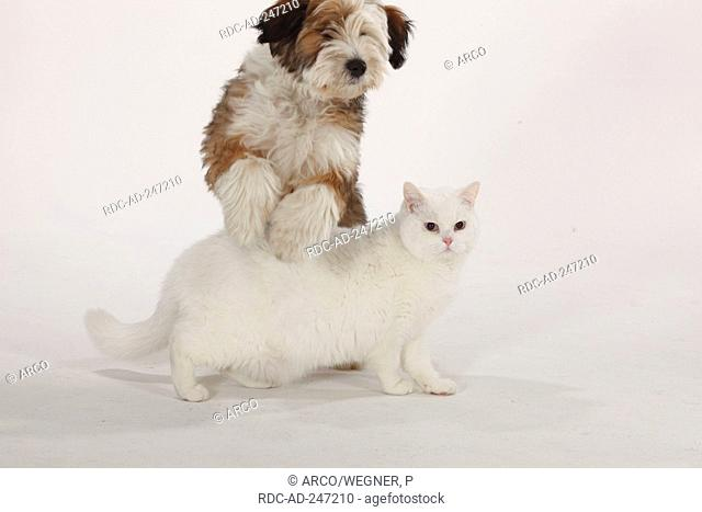 British Shorthair Cat tomcat white blue-eyed Tibetan Terrier puppy 4 months dog jumping over cat
