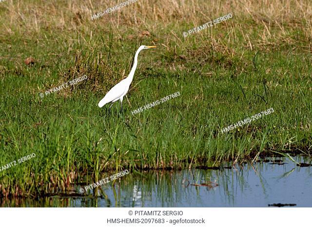 Botswana, Okavango delta, listed as World Heritage by UNESCO, Khwai Concession Area, Great egret (Ardea alba)