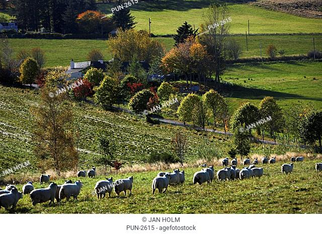 Sheep returning to farm in autumn afternoon