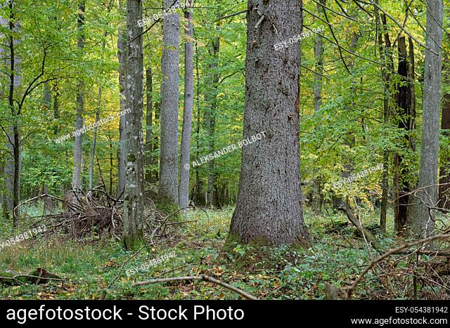 Old and huge english oaks and norwegian spruce in autumn, Bialowieza Forest, Poland, Europe