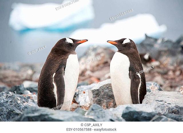 Gentoo penguins looking in the mirror on the Antarctica beach ne