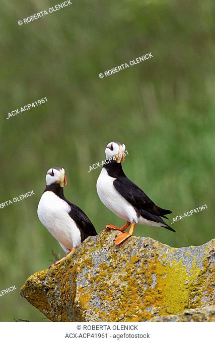 Horned puffins Fratercula corniculata, Hallo Bay, Ninagiak Island, Katmai National Park, Alaska, United States of America