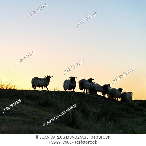 Sheep at sunset, MOC Montaña Oriental Costera, NATURA 2000, Cantabria, Spain, Europe