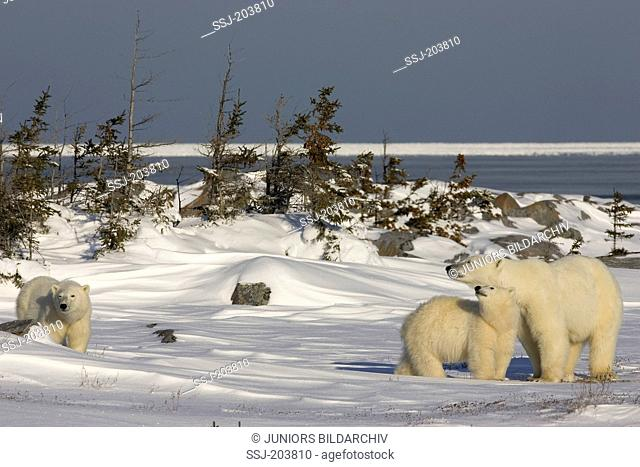 Polar Bear (Ursus maritimus, Thalarctos maritimus). Mother with two cubs standing on tundra. Hudson Bay, Canada