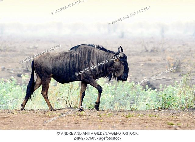 Blue Wildebeest (Connochaetes taurinus), walking on savanna, Kruger National Park, Mpumalanga, South Africa, Africa