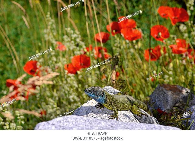 Eastern Green Lizard, European green lizard, Emerald lizard (Lacerta viridis, Lacerta viridis viridis), male sunbathing on a stone heap in front of blooming...