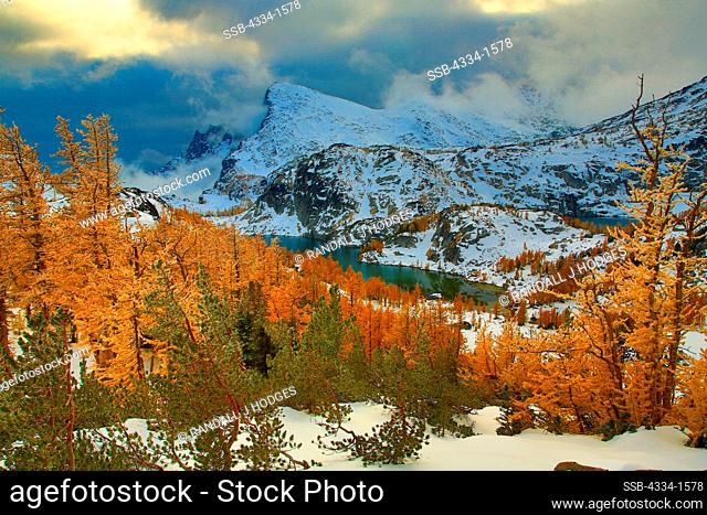 Golden Larch trees on a snow covered landscape, Little Annapurna, Alpine Lakes Wilderness, Washington State, USA