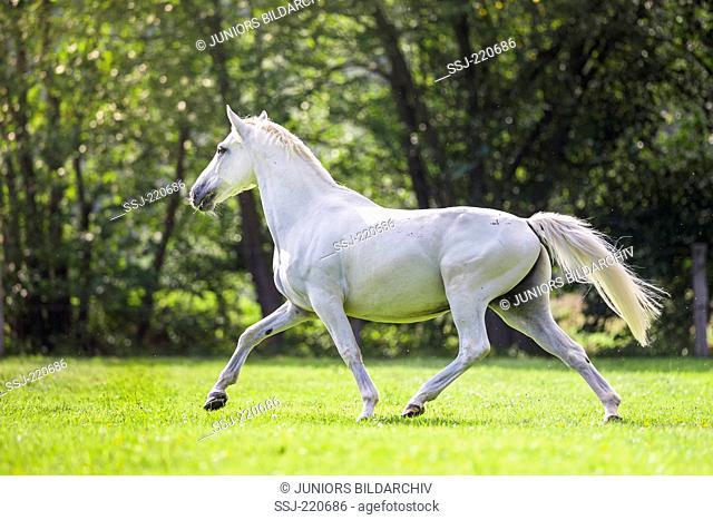 Irish Sport Horse. Gray gelding trotting on a pasture. Germany