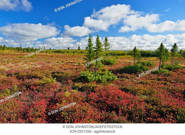 Autumn colour in the tundra near Ennadai Lake, Arctic Haven Lodge, Northwest Territories, Canada