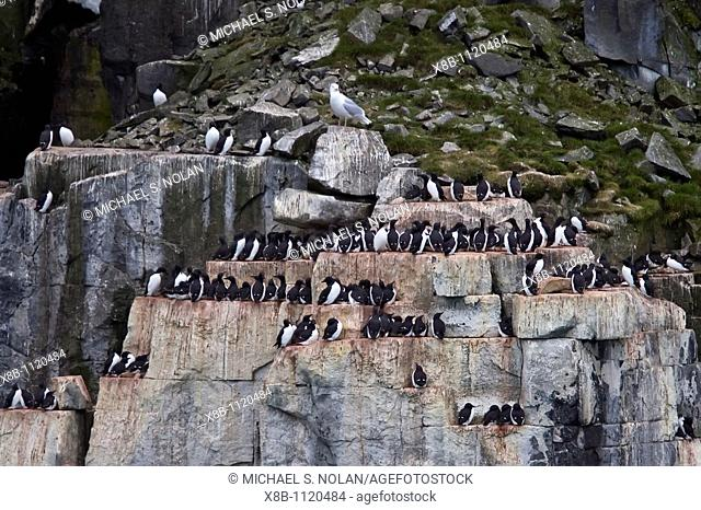 Br¸nnichs guillemot Uria lomvia breeding and nesting site at Cape Fanshaw in the Svalbard Archipelago, Barents Sea, Norway  In North America this bird species...