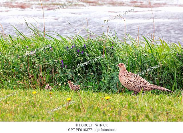 PHEASANT HEN WITH ITS YOUNG ON THE SEASHORE, BRITTANY, FRANCE