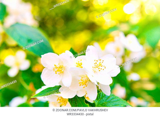 White jasmine flowers with green leaves over bright shining sun