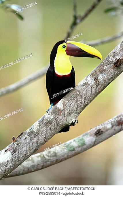 Black-mandibled toucan (Ramphastos ambiguus). Parque Nacional de corcovado, Peninsula de Osa, Costa Rica