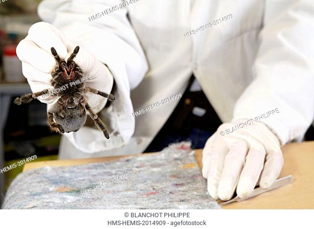 France, Paris, National Museum of Natural History, manipulation of tarantula Aphonopelma sp (Theraphosidae)