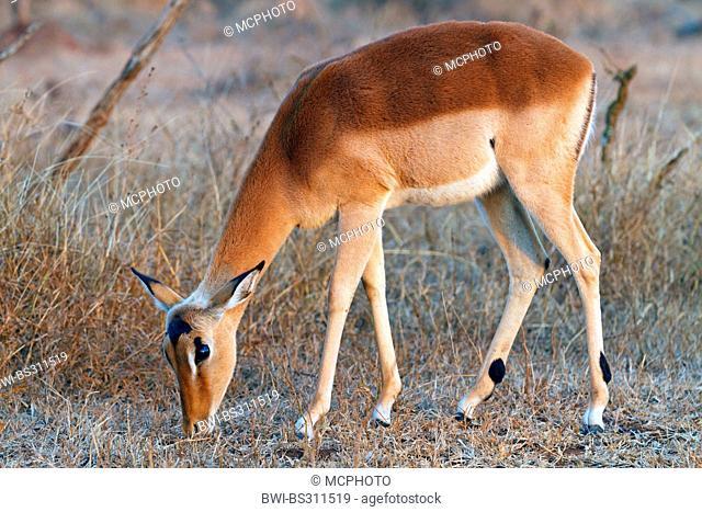 impala (Aepyceros melampus), grazing, South Africa, Krueger National Park, Crocodile Bridge Camp