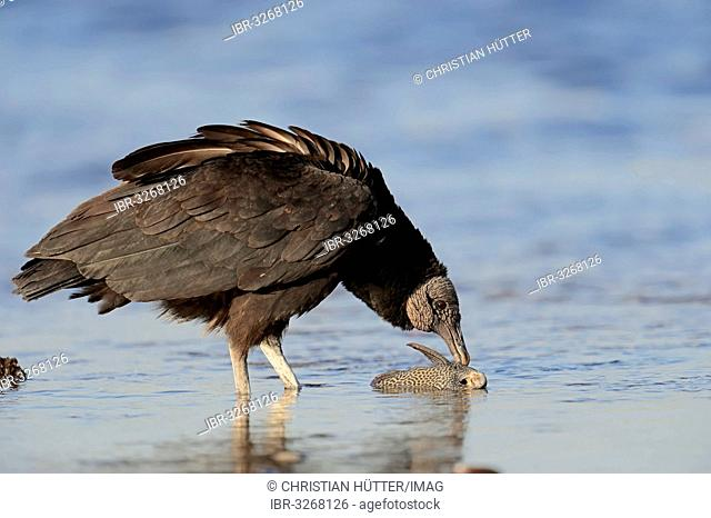 Black Vulture (Coragyps atratus) eating fish in water