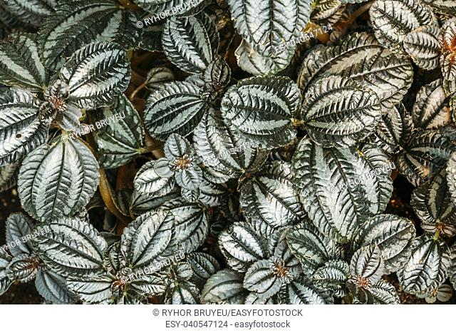 Green Leaves Of Plant Pilea Involucrata, Is A Plant Which Is Sometimes Cultivated, Especially Where High Humidity Can Be Provided, Such As In A Terrarium