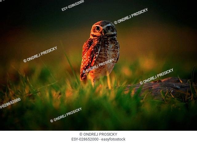 Burrowing Owl, Athene cunicularia, night bird