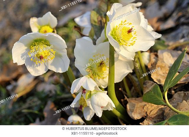 Helleborus niger, commonly called Christmas rose or black Hellebore, is an evergreen perennial flowering plant in the buttercup family, Ranunculaceae