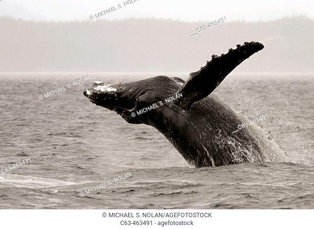 Adult Humpback Whale (Megaptera novaeangliae) breaching in Southeast Alaska, USA