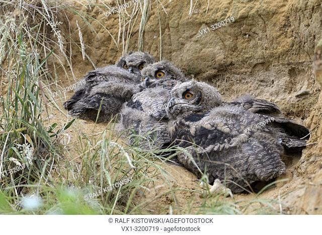 Eurasian Eagle Owls ( Bubo bubo ), young chicks, lying on the ground behind grass in a sand pit, wildlife, Europe