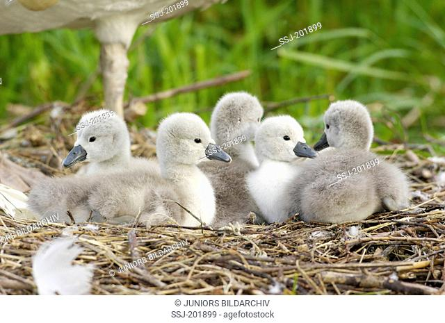 Mute Swan (Cygnus olor). Cygnets with parent-bird on nest. Germany