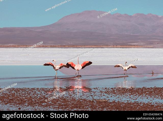 Flamingo in the lake of Bolivian Altiplano wildlife nature wilderness