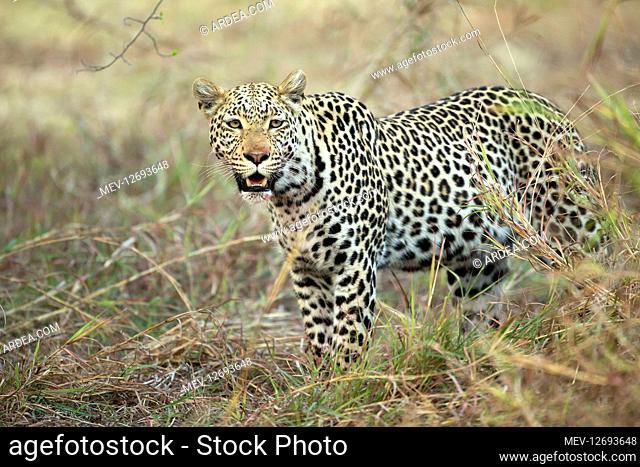 Leopard - after feeding - Botswana, Africa