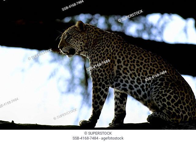 Kenya, Samburu, Leopard Panthera Pardus on tree