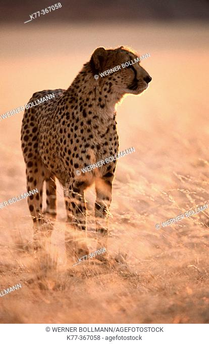 Cheetah in the savannah (Acinonyx jubatus) in captivity. Game Farm. Namibia