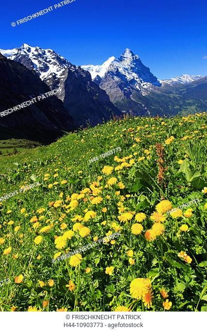 Alp, alps, flora, view, mountain, mountain panorama, mountains, mountain spring, mountain massif, mountain panorama, mountain wall, Bern, Bernese Oberland
