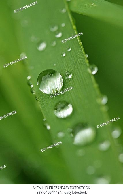 Droplets on wheat leaf