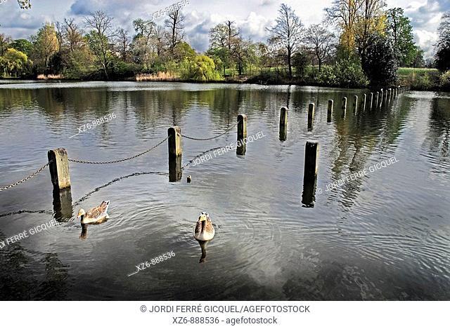 Ducks in The Serpentine, Kensington gardens, London, England, Europe