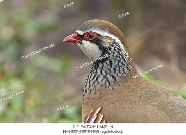 Red-legged Partridge Alectoris rufa adult, close-up of head, Warwickshire, England, winter