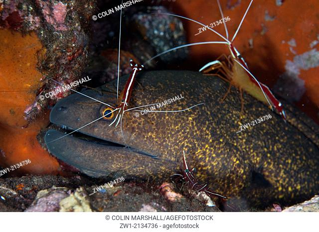Yellow-edged Moray Eel (Gymnothorax flavimarginatus) being cleaned by Hump-back Cleaner Shrimp (Lysmata amboinensis) on Seraya House Reef dive site at Seraya in...