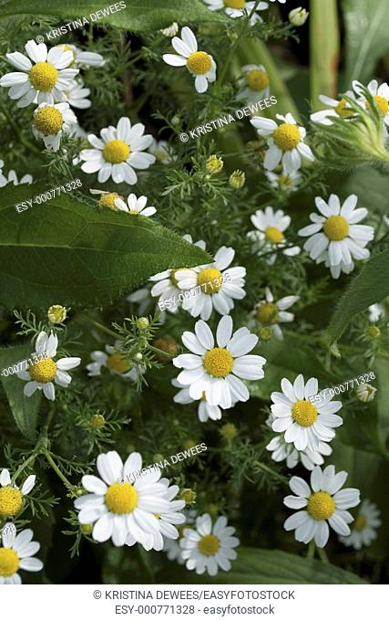 A batch of blooming German Chamomile