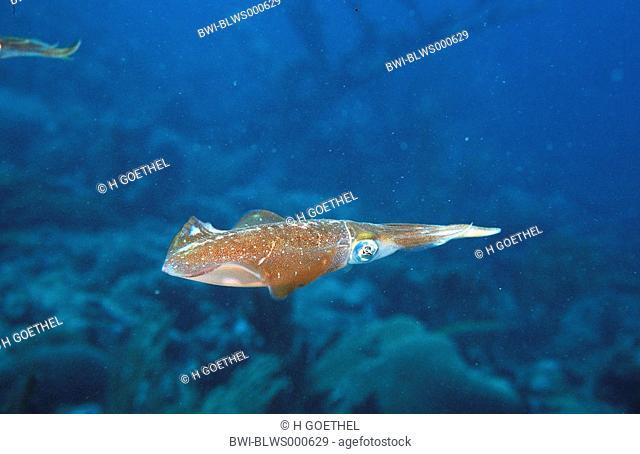 Caribbean reef squid, Atlantic oval squid Sepioteuthis sepioidea