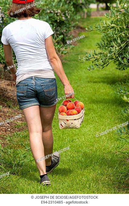 Back view of an 18 year old woman holding a basket of peaches walking down a row of plants in an orchard in the summer