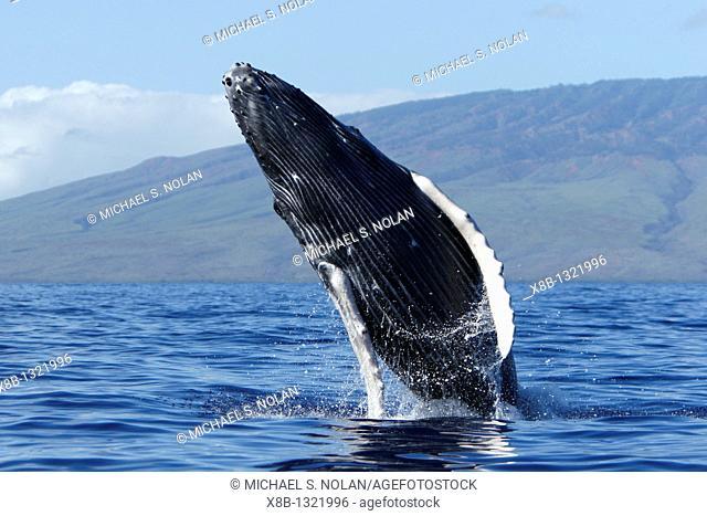 Humpback whale Megaptera novaeangliae calf breaching in the AuAu Channel, Maui, Hawaii, USA  Pacific Ocean