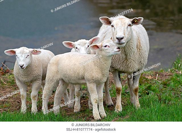 White Polled Heath Sheep. Ewe with three lambs, standing on a pasture. Germany