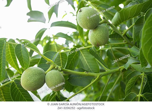 Green unripe walnuts growing on a tree. Closeup