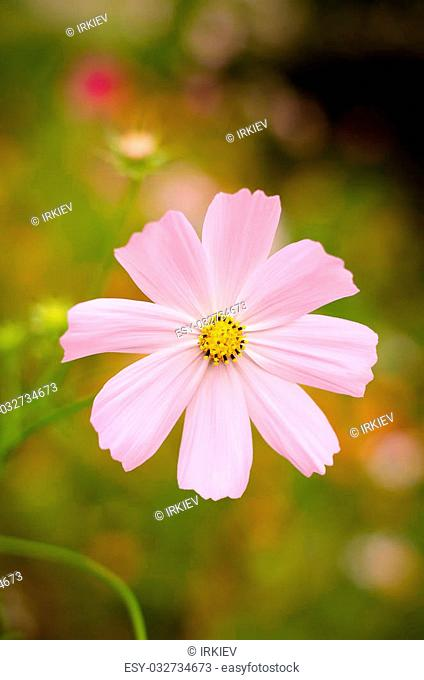 Large pink flowers on a green background in the garden