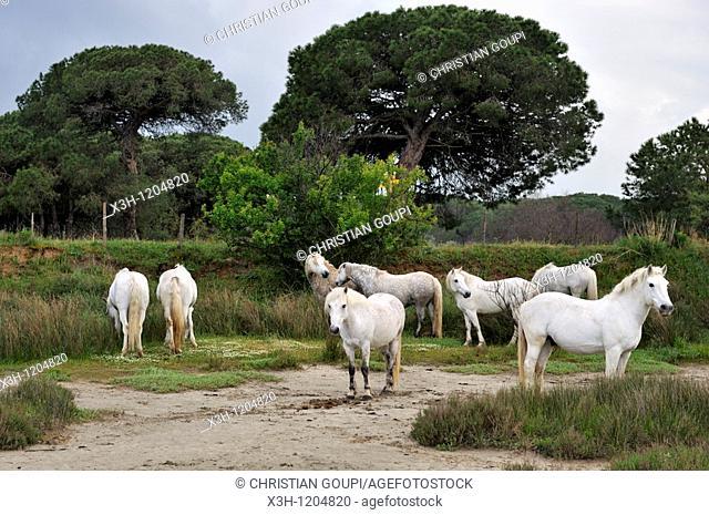 horses from Camargue, Grau du Roi, Gard department, France, Europe