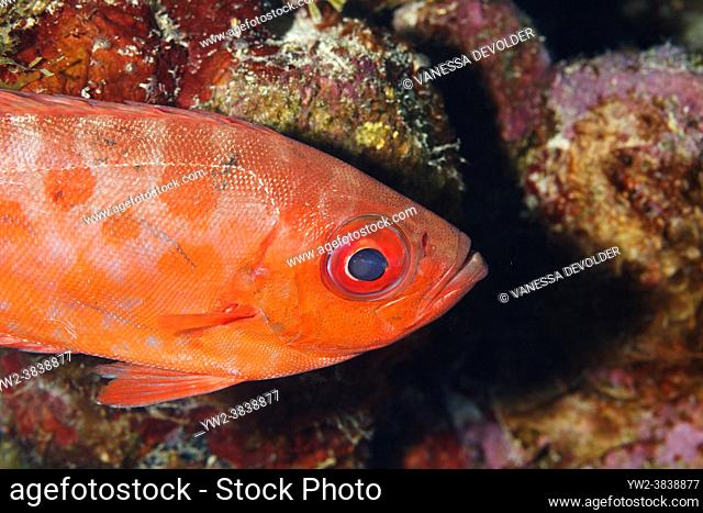 Bigeye in the Caribbean sea around Bonaire