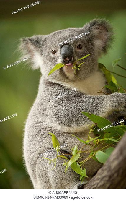 Koala, Phascolarctos cinereus, with food in its mouth. Sunshine Coast, Queensland, Australia. (Photo by: Auscape/UIG)