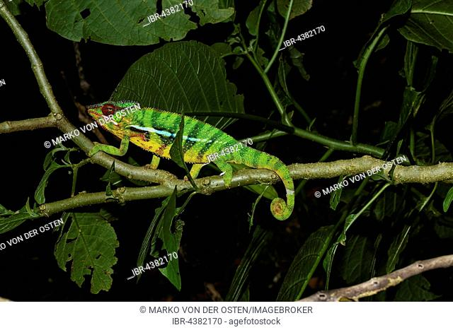 Male panther chameleon (Furcifer pardalis) on branch, Ambohitra (Joffreville), Madagascar