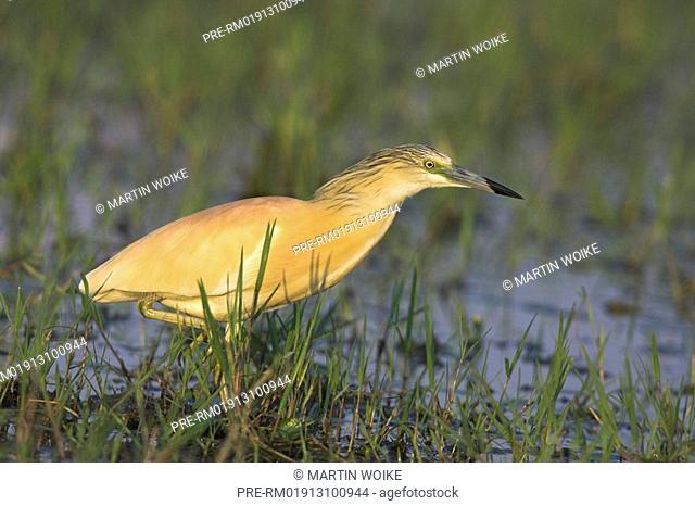 Squacco Heron, , Ardeola ralloides