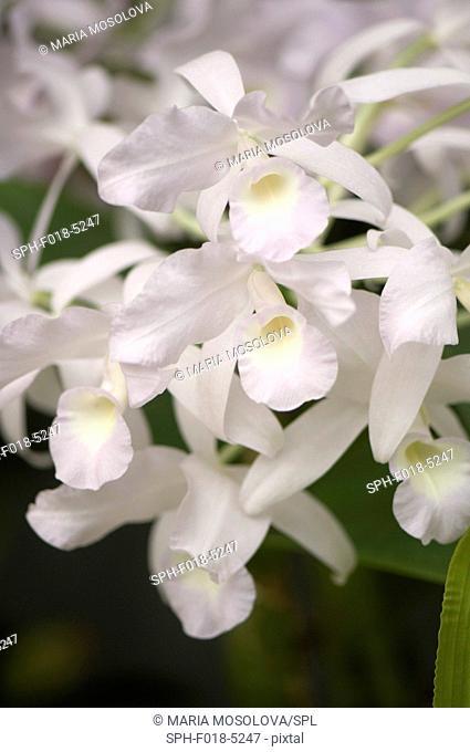 White orchid (Cattleya bowringiana alba) flowers