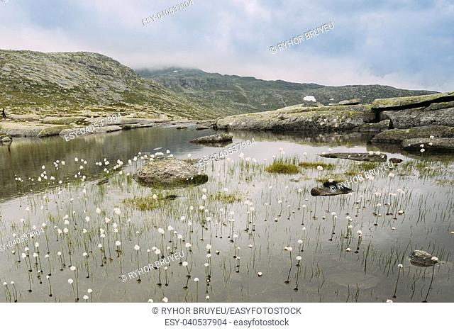 Norwegian landscape with mountains lake and cotton grass, cotton-grass or cottonsedge Eriophorum on foreground. Nature of Norway